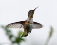 garden-and-hummingbirds-053-2